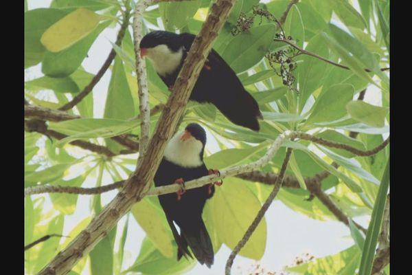 oiseaux rangiroa