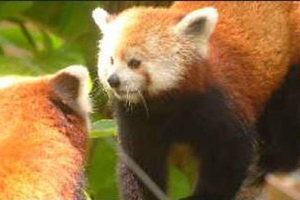 Pandas roux des Mamelles
