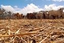 Sécheresse en Nouvelle-Calédonie: hausse des abattages de bovins