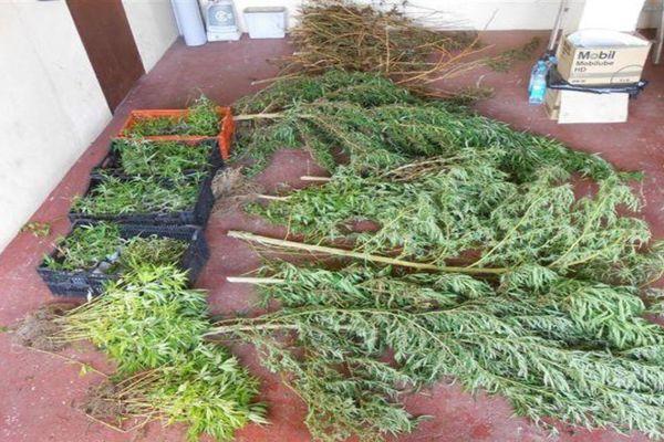 614 plants de cannabis découverts à Mahina et Raiatea