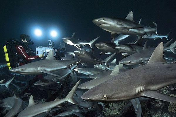 Fakarava : plongée avec 700 requins