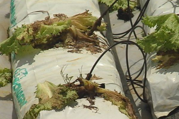 pénurie légumes