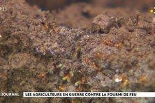 Toujours plus invasive, la fourmi de feu envahit Hitiaa