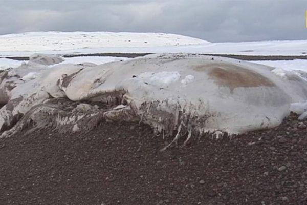 cachalot échoué à Miquelon