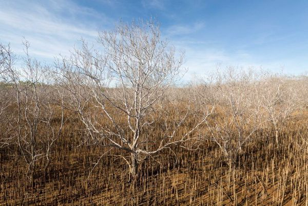 Mangrove Australie