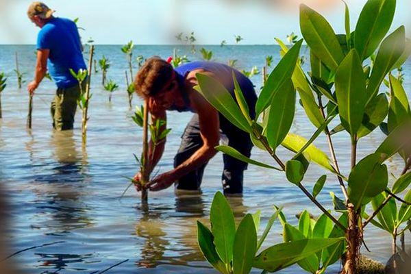 Cuba réhabilitation de la mangrove