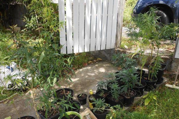 Plants de cannabis