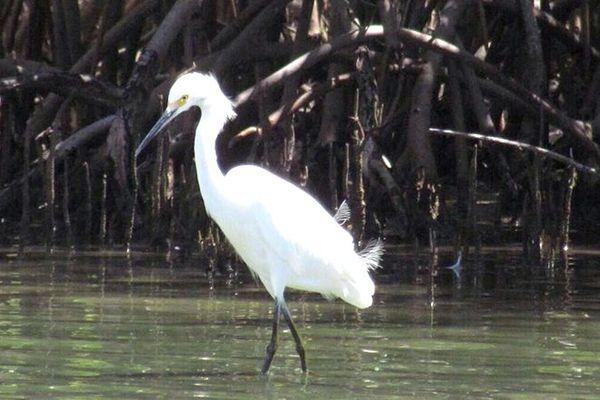 Mangrove (oiseau)