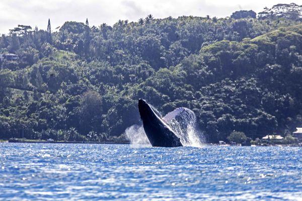 Baleine Vairao