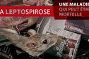Leptospirose : une épidémie d'une ampleur exceptionnelle