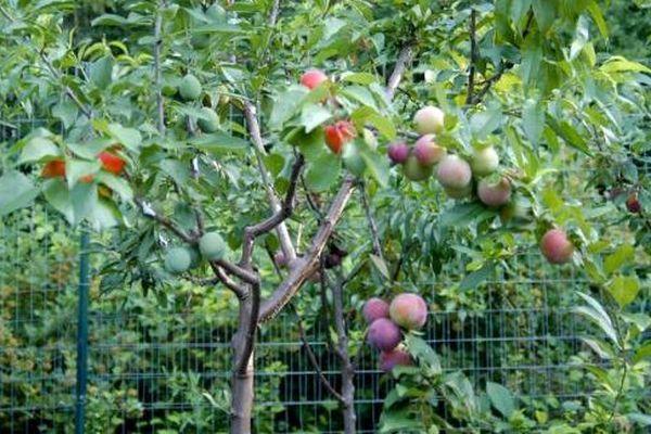 Un américain fait pousser un arbre qui peut produire 40 fruits différents
