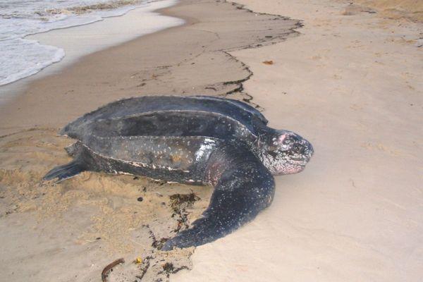 Une tortue luth vient pondre sur une plage de Guyane