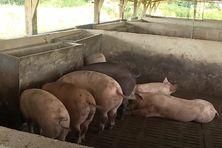 Le virus ne peut cependant pas être contracté par l'homme : il ne peut qu'atteindre les porcs, sauvages ou d'élevage, les sangliers, les phacochères et les tiques.