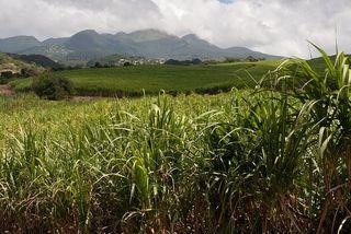 Champs de cannes de la Distillerie de Bologne dans le Sud Basse-Terre