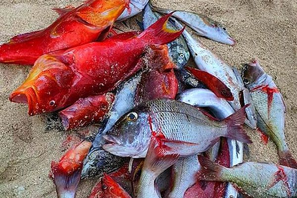 Petits poissons pêchés au harpon