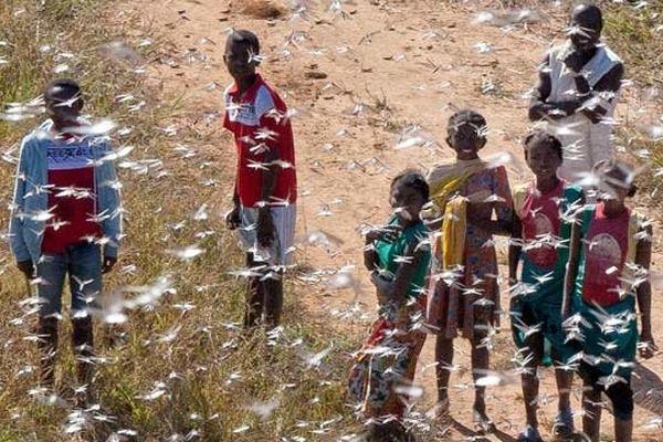 Avec l'aide de la FAO, Madagascar poursuit sa guerre contre les criquets