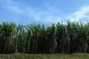Canne, plus de 600000 tonnes pour la campagne 2014