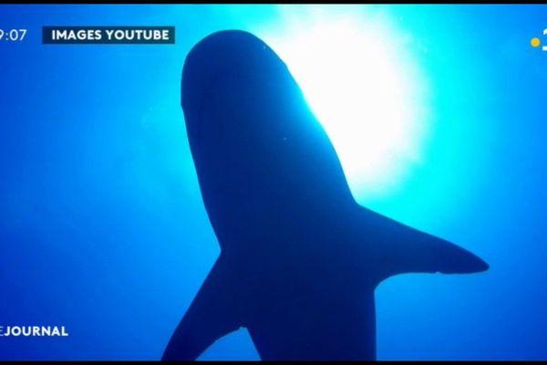 Le shark feeding en question