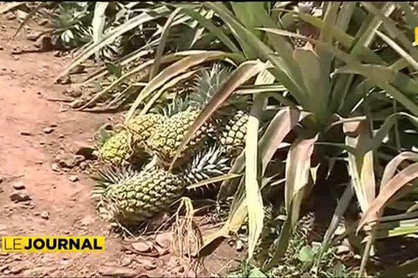 Pillage d'ananas à Moorea