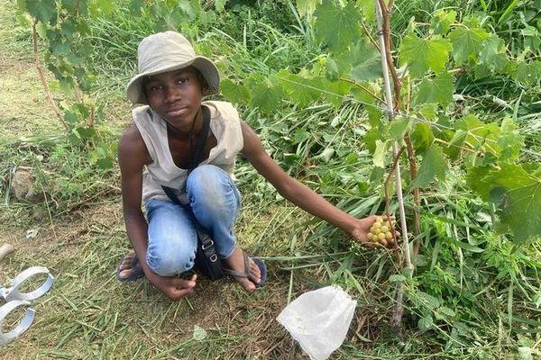 Vignes premiers raisins blancs à la Pointe-des-Châteaux à Saint-Leu 020121