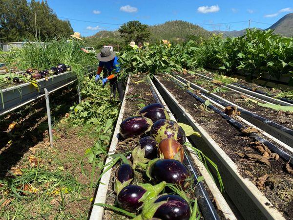 Glanage solidaire d'aubergines aux Jardins calédoniens, Dumbéa, 27 janvier 2020