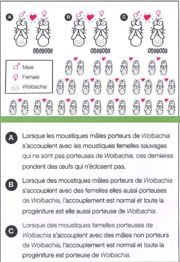 Wolbachia : propagation de la bactérie