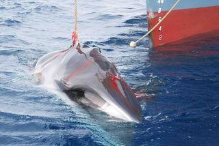 Le Japon va reprendre la chasse à la baleine en Antarctique