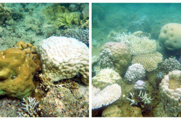 Blanchissement de coraux observé au large de la Baie des citrons en Nouvelle-Calédonie
