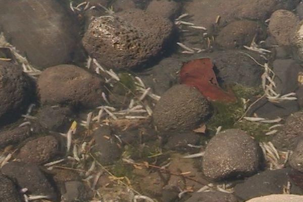 Poissons morts de la Punaruu : la sécheresse en cause
