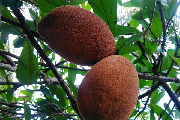 le cupuaçu fruit d'Amazonie