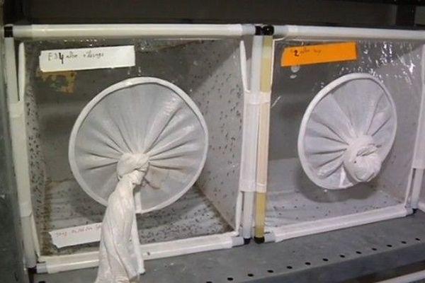 Moustique stérile projet IRD 220119