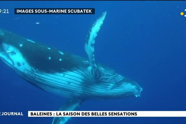 La saison des baleines bat son plein