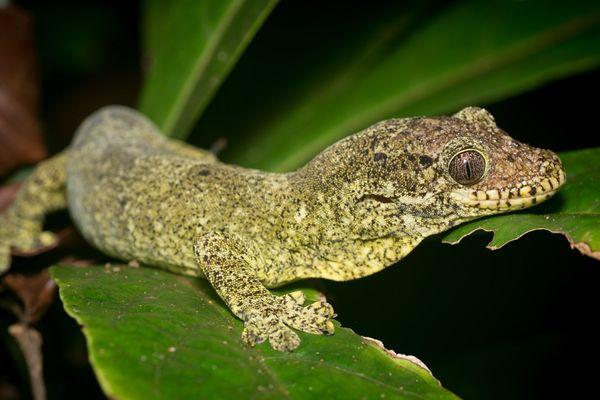 Gecko de Nouvelle-Calédonie