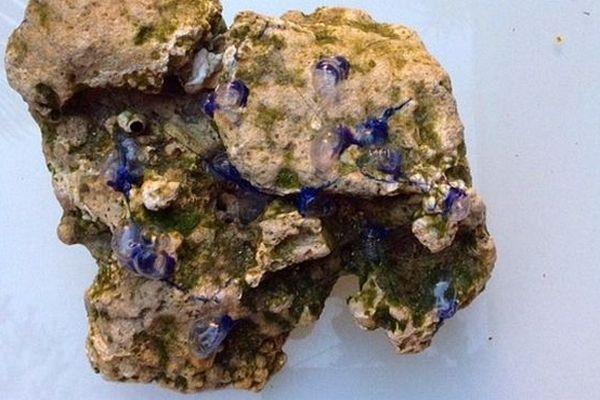 Des physalies sur un morceau de corail