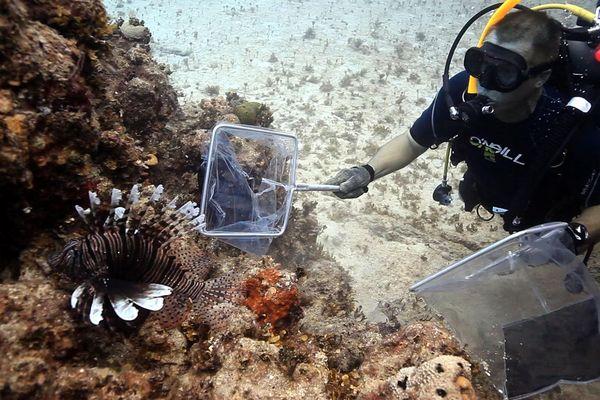 Caraibe, alerte au poisson-lion