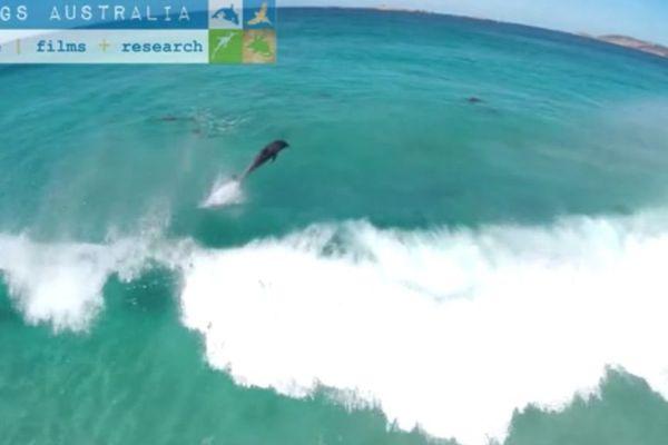 Dauphins surfeurs