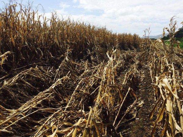 Bourail : des épis de maïs gorgés d'eaux