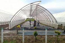 A Pinar del Rio, situé à l'ouest de Cuba, on protège les plants de tabac de la menace de l'Ouragan Delta.