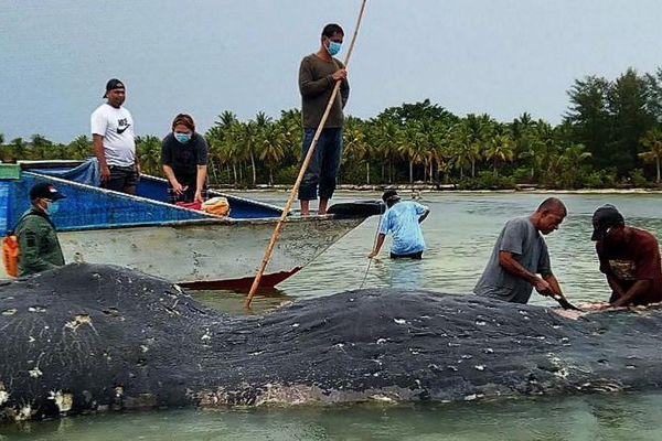 Une baleine retrouvée avec des kilos de plastiques dans l'estomac