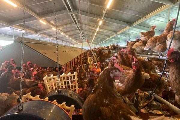 agriculture oeufs élevage Julie Deveaux Tévelave poules pondeuses plein air 041020