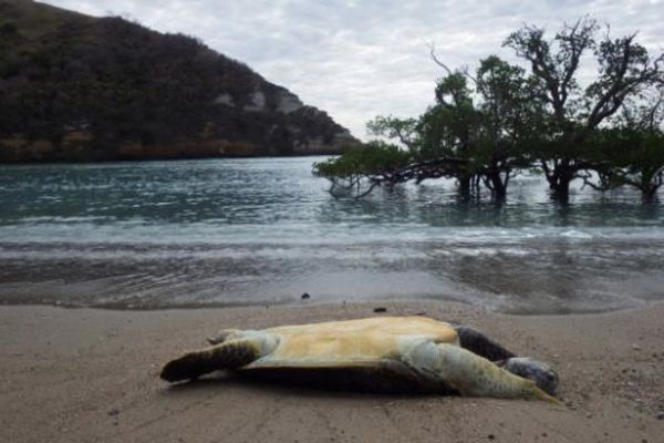 Tortue Mayotte 1