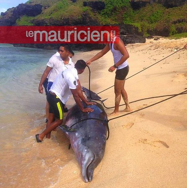 Premier dauphin DCD retrouvé à Gris-Gris