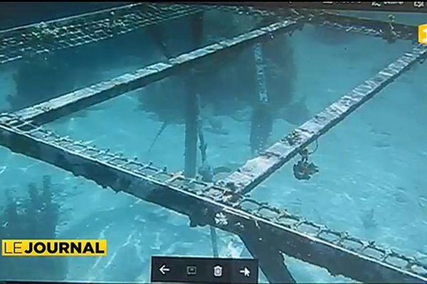 Une nurserie de corail vandalisée