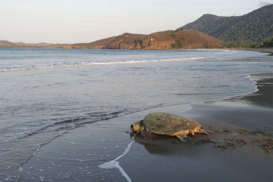 À Bourail, pas d'observation de ponte des tortues cette année - Nouvelle-Calédonie la 1ère