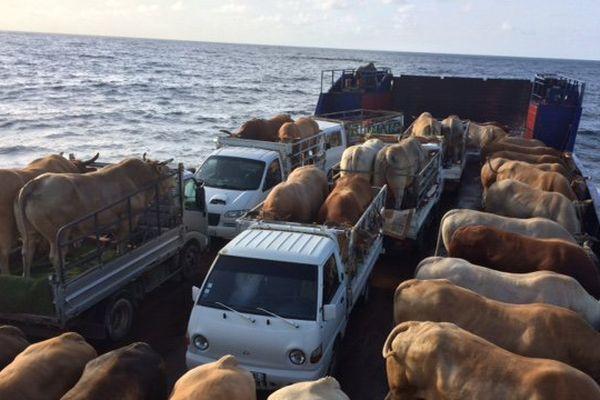 transport de bœufs tirants