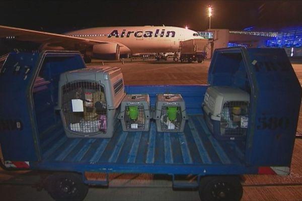 rapatriement chiens aircalin