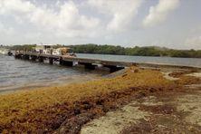 Retour des sargasses sur le littoral du François en Martinique (juin 2020)