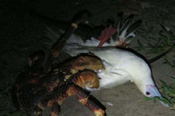 Une énorme crabe de cocotier attaque un oiseau pour en faire son repas