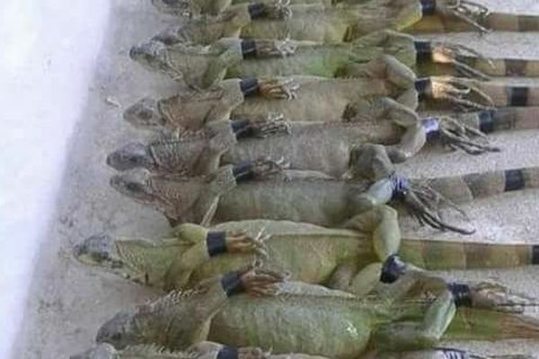Iguanes de Guyane capturés