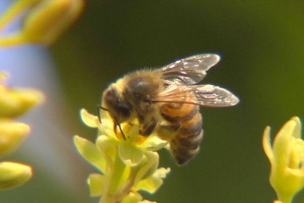 Capture abeilles, janvier 2018